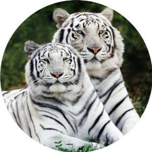 com White Tigers Art   Fridge Magnet   Fibreglass reinforced plastic
